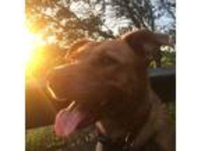 Adopt Belle a Red/Golden/Orange/Chestnut Carolina Dog / Mixed dog in Charleston