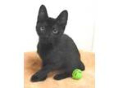 Adopt Linda a All Black Domestic Shorthair / Domestic Shorthair / Mixed cat in