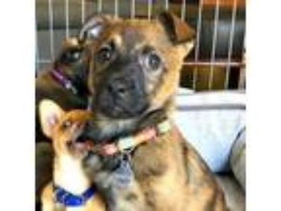 Adopt Dixie a Cattle Dog, Shepherd
