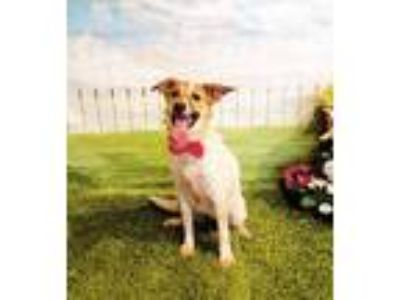 Adopt Kaya a White - with Brown or Chocolate Wirehaired Fox Terrier / Mixed dog