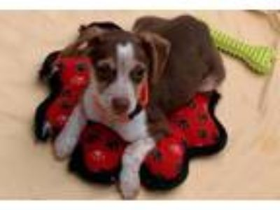 Adopt Brooke (puppy) a Jack Russell Terrier