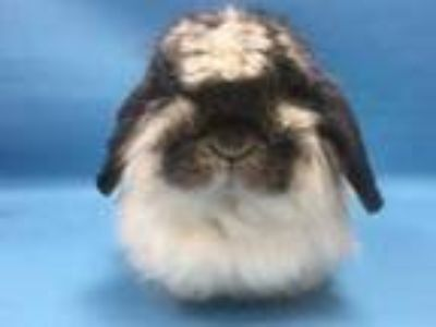 Adopt Bubbles a White Lop, Holland / Mixed rabbit in Coon Rapids, MN (25275057)