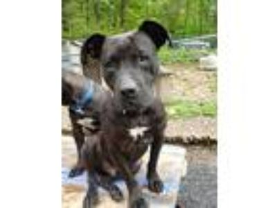 Adopt Maximo a Black - with White American Staffordshire Terrier / Mixed dog in