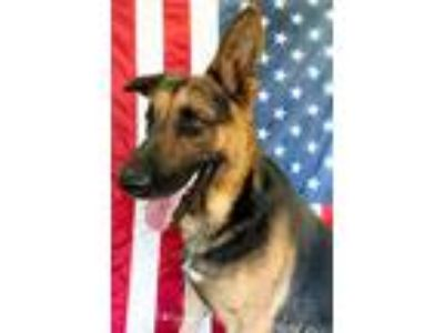 Adopt Oso Lucky a Black - with Tan, Yellow or Fawn German Shepherd Dog / Mixed
