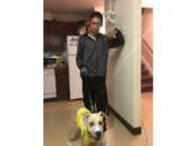 Adopt El Chapo a Tan/Yellow/Fawn - with White American Pit Bull Terrier dog in