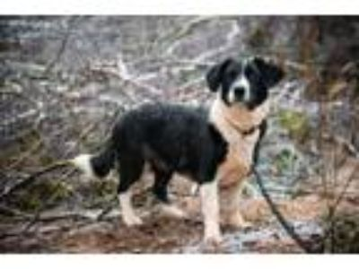 Adopt Masha a Border Collie, Beagle