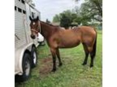 Foundation Bred Mare
