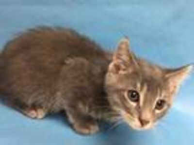 Adopt Emery a Gray or Blue Domestic Shorthair / Mixed (short coat) cat in