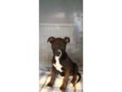 Adopt Todd a Brown/Chocolate American Pit Bull Terrier / Mixed dog in Selma