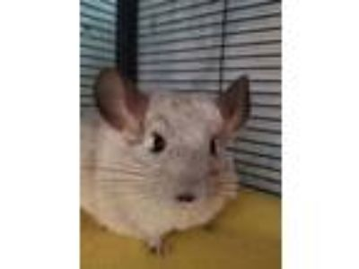 Adopt Mugsy a White Chinchilla small animal in Lindenhurst, NY (25588621)