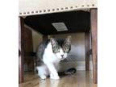 Adopt George a Spotted Tabby/Leopard Spotted American Shorthair / Mixed cat in