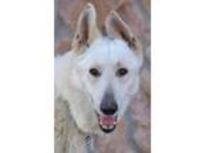 Adopt Blanco von Bayreuth a White German Shepherd Dog / Mixed dog in Los