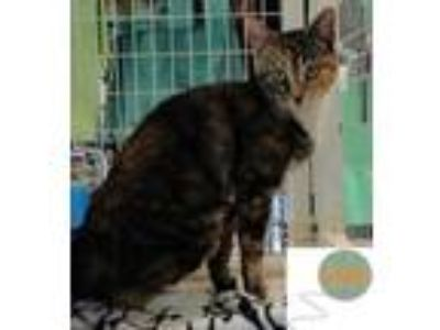 Adopt SPRING a All Black Domestic Shorthair / Domestic Shorthair / Mixed cat in