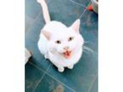 Adopt Roger - how can you resist this face? a Domestic Short Hair
