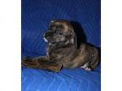 Adopt Nardo a Mixed Breed, Boxer