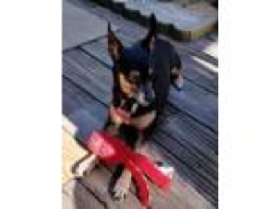 Adopt Sina in RI a Miniature Pinscher