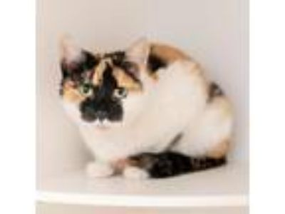 Adopt Cali a Domestic Short Hair
