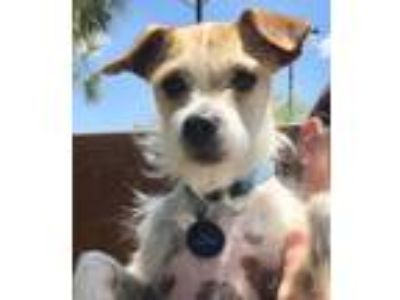 Adopt Skippy a Jack Russell Terrier