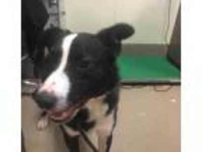 Adopt Roscoe a Black Border Collie / Mixed dog in Alpharetta, GA (24317462)