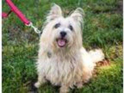 Adopt Olivia a Norwich Terrier