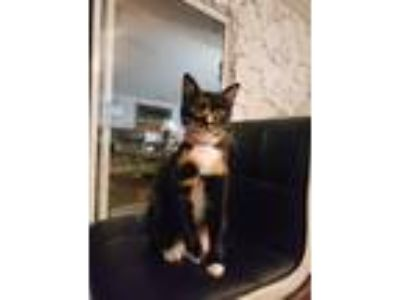 Adopt Mickey a Tortoiseshell American Shorthair cat in Jacksonville