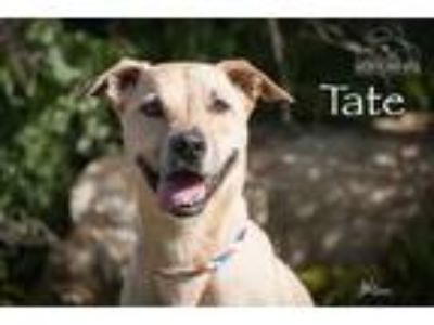 Adopt Tate a Tan/Yellow/Fawn Whippet / Labrador Retriever / Mixed dog in