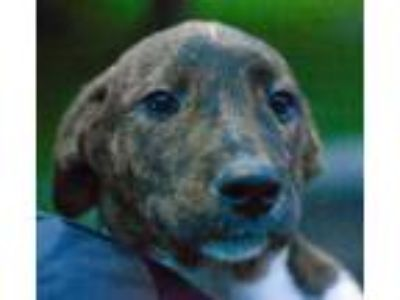 Adopt Mojito a Brindle Terrier (Unknown Type, Small) / Retriever (Unknown Type)