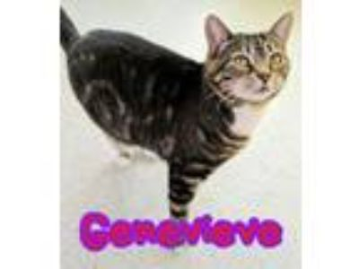 Adopt Genevieve a Domestic Short Hair
