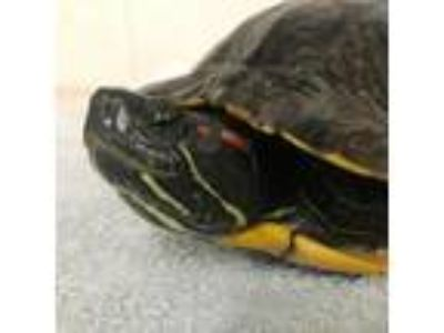 Adopt Tortellini a Turtle - Other reptile, amphibian, and/or fish in Burlingame