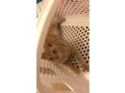 Adopt Zoro a Orange or Red (Mostly) Domestic Shorthair / Mixed cat in Troy