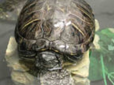 Adopt *FREEDA a Turtle - Other / Mixed reptile, amphibian