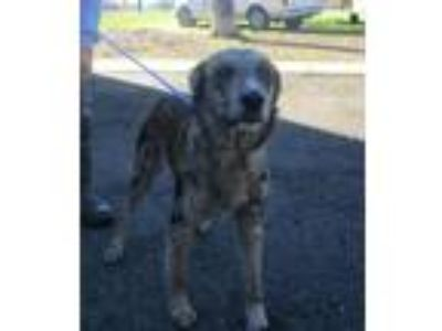 Adopt SHELLYR a Catahoula Leopard Dog