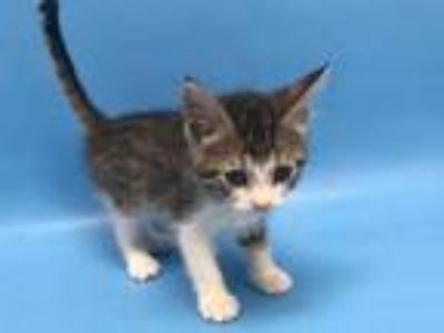 Adopt Frank the Tank a Brown or Chocolate Domestic Shorthair / Mixed cat in