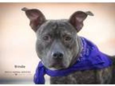 Adopt Brindie a Pit Bull Terrier / Mixed dog in Dickinson, TX (23975681)