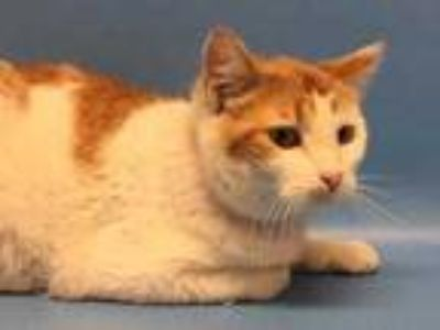 Adopt Sandra a White Domestic Shorthair / Mixed cat in Golden Valley