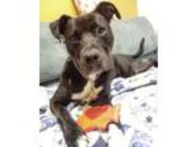 Adopt Rudy a Pointer, Pit Bull Terrier