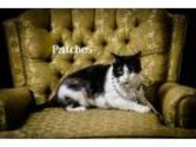 Adopt Patches a All Black Domestic Shorthair / Domestic Shorthair / Mixed (short