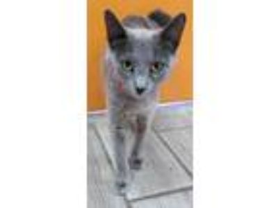 Adopt GRANT a Domestic Short Hair