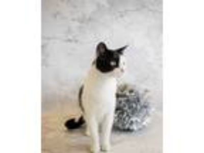 Adopt Nf-48 a Domestic Short Hair