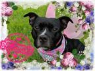 Adopt Tallulah a Black - with White Pit Bull Terrier / Mixed dog in Glocester
