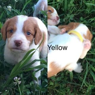Brittany PUPPY FOR SALE ADN-86752 - AKC Brittany puppies