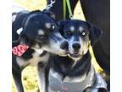 Adopt Meeko and Paisley a Black - with White Husky / Labrador Retriever dog in