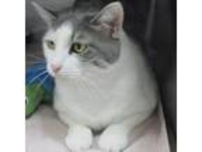 Adopt Rose a Gray or Blue Domestic Shorthair / Domestic Shorthair / Mixed cat in