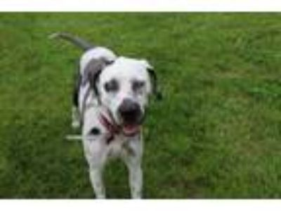 Adopt Willow a Catahoula Leopard Dog, Dalmatian