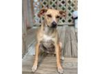 Adopt Kona a Jack Russell Terrier / Cattle Dog / Mixed dog in Fayetteville