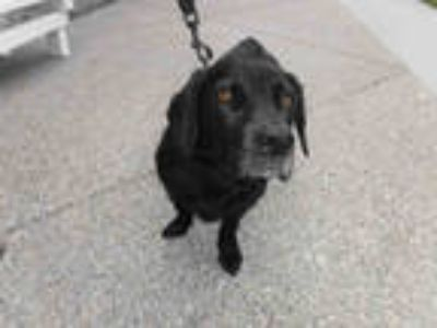 Adopt CARTER a Black Labrador Retriever / Dachshund / Mixed dog in Long Beach
