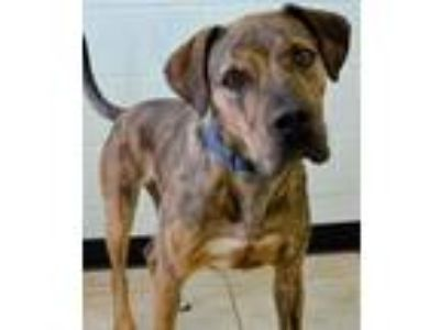 Adopt Bane a Catahoula Leopard Dog / American Staffordshire Terrier / Mixed dog