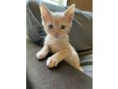 Adopt Griffie a Orange or Red Tabby Domestic Shorthair (short coat) cat in