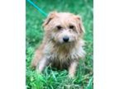 Adopt GRETTA a Tan/Yellow/Fawn - with White Terrier (Unknown Type