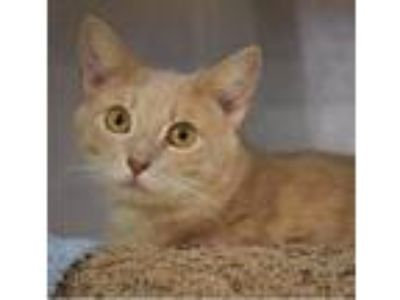 Adopt Brinkley -- Adoption Pending a Orange or Red Domestic Shorthair / Mixed